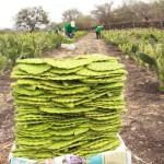 """Acudieron a la comunidad de Urireo en donde tuvieron una reunión con directivos de la empresa """"La Rielera"""" la cual vende productos hechos con nopal , dentro de ellos agua, nopales en conserva, mermelada, tortillas ,etc."""